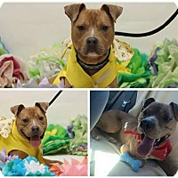 American Pit Bull Terrier Mix Dog for adoption in Manhattan, New York - Hulk