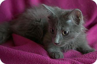 Russian Blue Kitten for adoption in Allentown, Pennsylvania - Slate