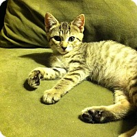 Domestic Shorthair Kitten for adoption in Brightwaters,, New York - Jezebel