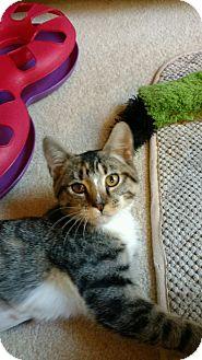 Calico Kitten for adoption in Atlanta, Georgia - Chloe