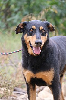 Doberman Pinscher/Shepherd (Unknown Type) Mix Dog for adoption in Fillmore, California - Devon