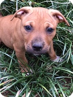 Boxer/American Pit Bull Terrier Mix Puppy for adoption in Washington, D.C. - Apple  (ETAA)