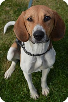 Treeing Walker Coonhound Dog for adoption in Ogden, Utah - Allie