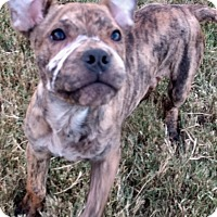 Adopt A Pet :: BABY ASHER - HAGGERSTOWN, MD