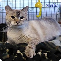 Siamese Kitten for adoption in Kansas City, Missouri - Kelis