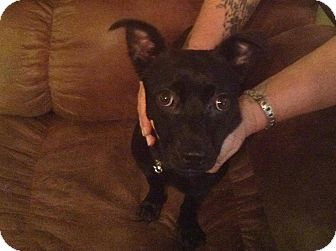 Chihuahua/Rat Terrier Mix Dog for adoption in Allentown, Pennsylvania - Zoey