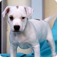 Adopt A Pet :: Caboodle - Los Angeles, CA
