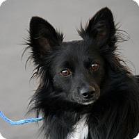 Adopt A Pet :: Bear - Palmdale, CA