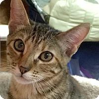 Adopt A Pet :: JK Meowling LC - Schertz, TX
