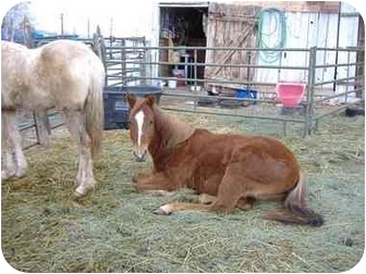 Quarterhorse for adoption in Bayfield, Colorado - LuLu