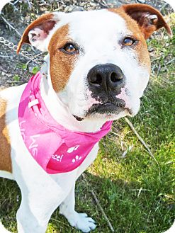 American Bulldog/Labrador Retriever Mix Puppy for adoption in Detroit, Michigan - Shelby-Adopted!