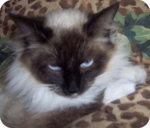 Ragdoll Cat for adoption in Ennis, Texas - Tessa