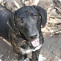 Adopt A Pet :: FRED - Houston, TX