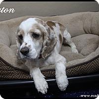 Adopt A Pet :: Payton - Rockwall, TX