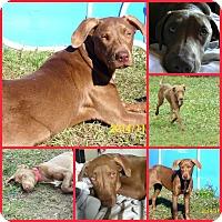 Adopt A Pet :: CALLIE - Davenport, FL