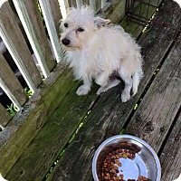 Adopt A Pet :: Westie m - Pompton lakes, NJ