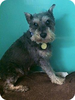 Schnauzer (Miniature) Dog for adoption in Oak Ridge, New Jersey - Sheila-SPONSOR ME