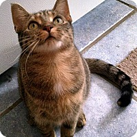 Domestic Shorthair Cat for adoption in Fairborn, Ohio - Sassy