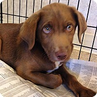 Adopt A Pet :: Chocolate boy - Pompton Lakes, NJ