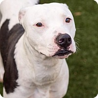 Pit Bull Terrier Mix Dog for adoption in New York, New York - Georgia