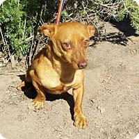 Adopt A Pet :: Cuddly LITTLE Mr Creed - Albuquerque, NM