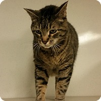 Domestic Shorthair Cat for adoption in Indianola, Iowa - Tig