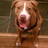 Boxer Mix Dog for adoption in Denton, Texas - Bella