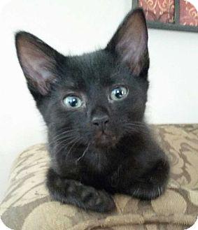 Domestic Shorthair Kitten for adoption in Acworth, Georgia - Turbo