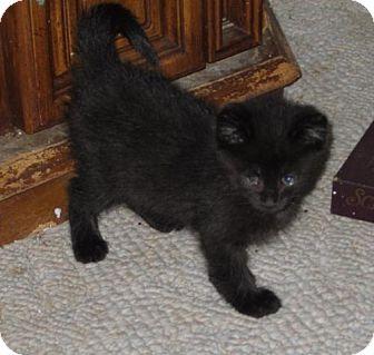 Domestic Mediumhair Kitten for adoption in Monticello, Iowa - Whip