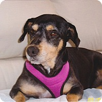 Dachshund/Terrier (Unknown Type, Small) Mix Dog for adoption in Chandler, Arizona - Maggie