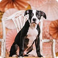 Adopt A Pet :: Babe Ruth - Portland, OR