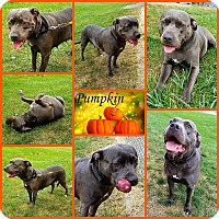 Adopt A Pet :: Pumpkin - Joliet, IL