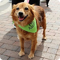 Adopt A Pet :: Irene - Centreville, VA