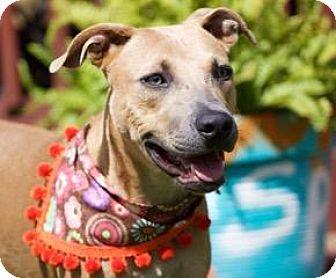Labrador Retriever/Weimaraner Mix Dog for adoption in Billings, Montana - Gilligan