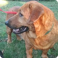 Basset Hound/Golden Retriever Mix Dog for adoption in Shelter Island, New York - hannah