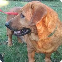 Basset Hound/Golden Retriever Mix Dog for adoption in Shelter Island, New York - hannah