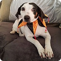 Beagle Mix Dog for adoption in Chattanooga, Tennessee - Lacey
