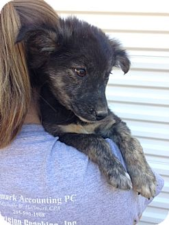 Australian Cattle Dog Mix Puppy for adoption in Manchester, New Hampshire - Dude-pending