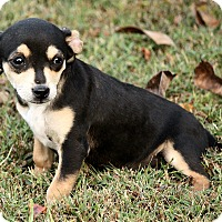 Chihuahua Mix Puppy for adoption in Foster, Rhode Island - Ozzie