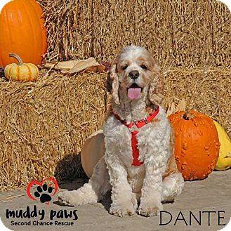 Cocker Spaniel Dog for adoption in Council Bluffs, Iowa - Dante