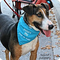 Beagle/Bull Terrier Mix Dog for adoption in Kansas City, Missouri - Rizzo