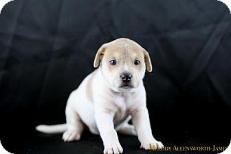 Shar Pei Mix Puppy for adoption in Little Rock, Arkansas - Sophia Loren