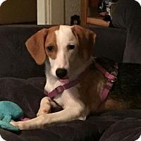 Beagle/Australian Shepherd Mix Puppy for adoption in Providence, Rhode Island - Myra White in RI