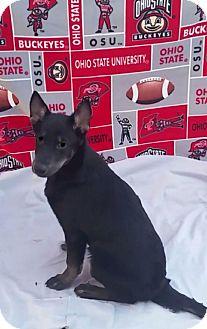 Shepherd (Unknown Type) Mix Puppy for adoption in East Sparta, Ohio - Oz