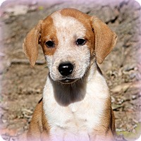 Boxer/Pointer Mix Puppy for adoption in Glastonbury, Connecticut - Nanook