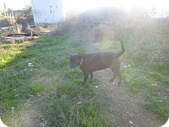 Labrador Retriever Mix Dog for adoption in Qualicum Beach, British Columbia - Niki