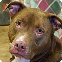American Pit Bull Terrier/Labrador Retriever Mix Dog for adoption in Sprakers, New York - Coco