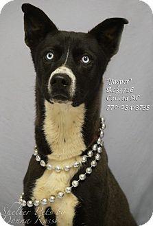 Siberian Husky/Pointer Mix Dog for adoption in Newnan City, Georgia - Jasper
