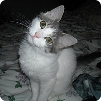 Turkish Angora Kitten for adoption in Arlington, Virginia - Polo (& Angus)-Lap/dog lover