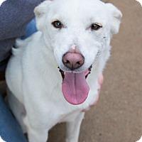 Adopt A Pet :: Lacey - Austin, AR
